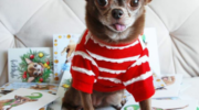 La Chihuahua Star