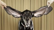Siete razones para no cortar la cola y las orejas a los perros