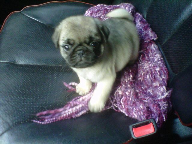 Marcelo Tinelli le regaló un Pug Carlino a su nueva novia ...