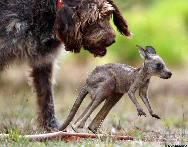 canguro-huerfano-salvado-por-perro