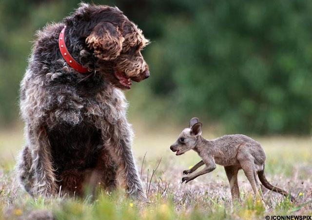 perro-salva-canguro-bebe