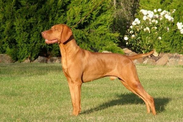 razas de perro con T, V, W, X, Y con imagenes